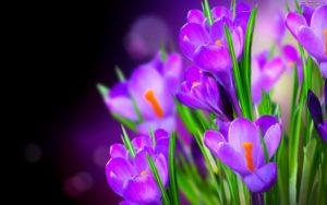 big_468af53fkrokusy-wiosna-fioletowe-2